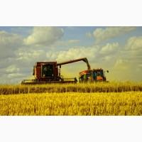 Кукуруза, закупаем зерновые культуры