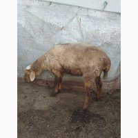 Продаются овцы курдючные, гиссары, эдильбаевские