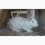Кролі полтавське срібло, білий панон, білий велетень