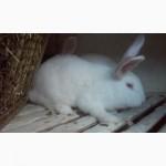 Кролі полтавське срібло, білий панон
