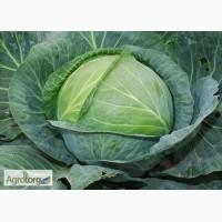 Продам семена Капуста белокочанная поздняя Украинская осень