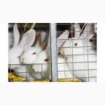 Кролики породи Термонці