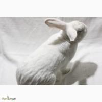 Кролики Термонська Біла