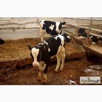 Закупаем бычков на откорм 100-200кг