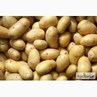 Продам картофель сорт Чародейка