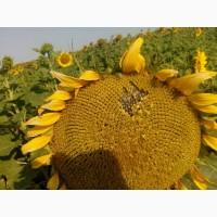 Семена подсолнечника Матадор (под Экспрес) ВНИС