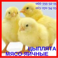 Цыплята суточные мясо-яичные мастер грей, ред бро, голошейка (испанка)