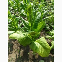 Продам зелене листя тютюну