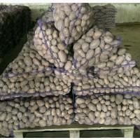 Продам картофель оптом Белароза