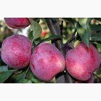 Продам яблоко Флорина