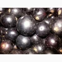 Продам сертифицированные саженцы черной смородины