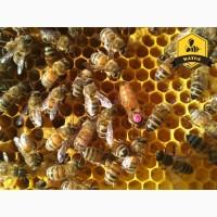 Бджоломатки Бакфаст та Карніка природнього та ШО на 2019 рік