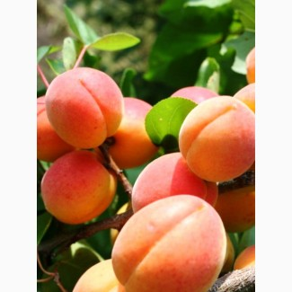 Продажа Крупной абрикосы от производителя