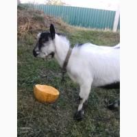 Продам дійні кози