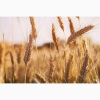 Купим пшеницу 2-4 класса