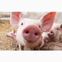 Куплю свиней, свиноматок живым весом по всей Украине