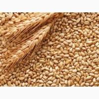 Куплю пшеницю фуражну, 2 клас, 3 клас