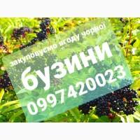 Закуповуємо ягоду чорної бузини в китицях