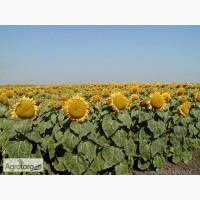 Семена подсолнечника Импакт под Евро-Лайтнинг Nuseed USA