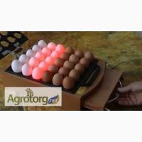 Продам iнкубацiйне яйце та курчат: Кобб-500, Росс-308, Тетра-Н, Доминант