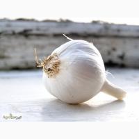 Семена ярового чеснока Великан – диплоидный гибрид