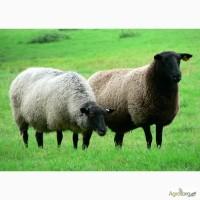 Агрофима Наш Край купит ягнят для розведения и пополнения стада
