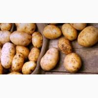Продам картофель беларосса, словянка, скарп, санта и др