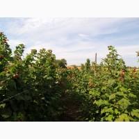 Малина элитные сорта летней и ремонтантной малины