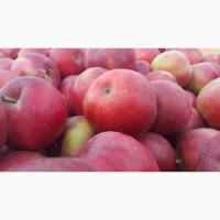 Продам яблука (Айдаред, Флоріна, Джанаголд, Чемпіон та ін.)