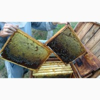 Пчеломатки - Карпатка -тип Вучковский, меченные 2019 года Ф1