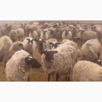 Продам овець / Продам овцы