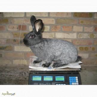 Кролики Каліфорнийський, Сріблястий, Білий панон