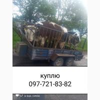 Куплю быков коров тёлок любого веса и количества