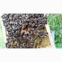 Плідні бджоломатки породи Карпатка, 2021р. (Пчеломатки)