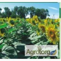 Семена подсолнечника Гольфстрим Сербия