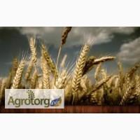Закупка пшеницы разноклассовой