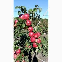 Продам яблоки оптом сортовые и на переработку