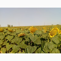 Семена подсолнечника Дракон (под Гранстар, Экспрес) ВНИС