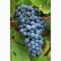 Виноград в Кривом Роге продам оптом