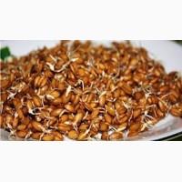 Реализуем без посредников Пшеницу Чорноброва - уникальный сорт