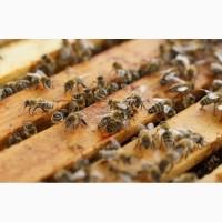 Бджолопакети Карпатка продам за вигідною ціною