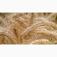 Пшениця, соняшник, соя, кукурудза, ячмінь, ріпак. ЗАКУПКА
