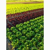 Продам салат айсберг, бионда, лолло-росса, ромен, фризе зеленый, фризе красный.Днепр