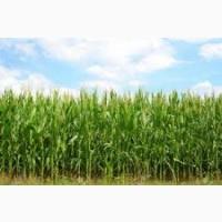РАМ 8143 ФАО 260 семена кукурузы