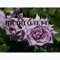 Продаю саженцы роз, закрытая корневая