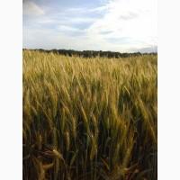 Озимая пшеница Катруся Одесска