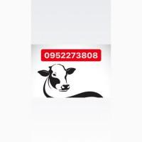 Терміново куплю корів биків