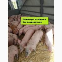 Прямые продажи с фермы с доставкой поросята