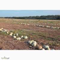Посевной материал тыквы от 100 грн за 1 кг