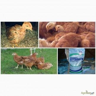 Подрощенные цыплята